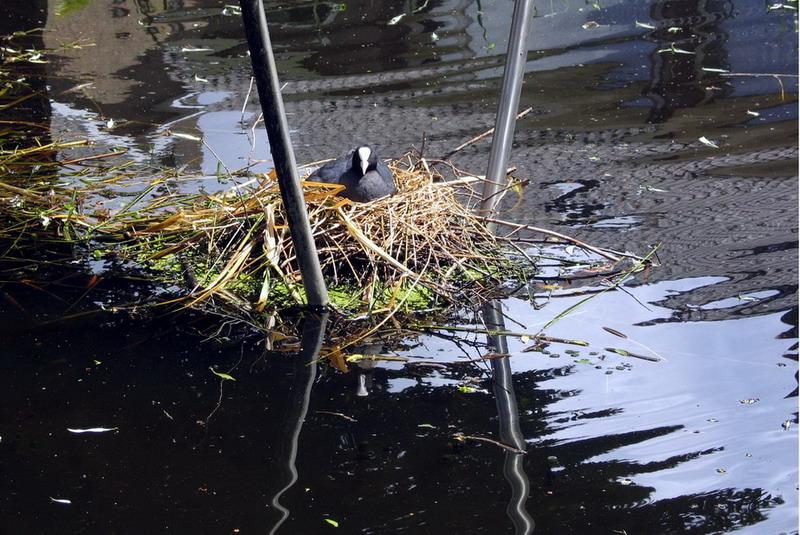 Mon Wass-Wijk-Water 05-A Nette-tijdens broedseizoen (meerkoet) fontein uitgezet