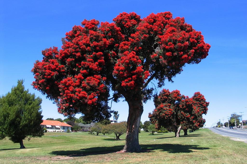NZ-Zuideiland, Kaikoura, Christmas tree - foto HB