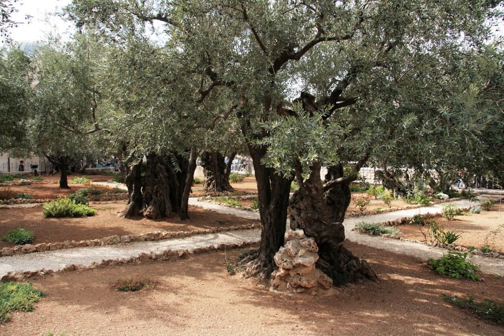 11027-Jrzlm-Hof van Getsemane-6348g-e olijfbomen-1500pix